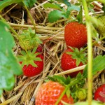 Strawberry Picking – and eating!
